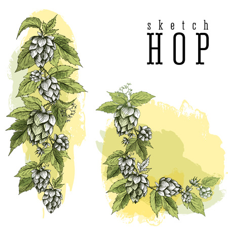 common hop: Common hop or Humulus lupulus branch with leaves and cones. Beer hops element colorful sketch and engraving design hops plants. All element isolated. Vertical and angular frame.