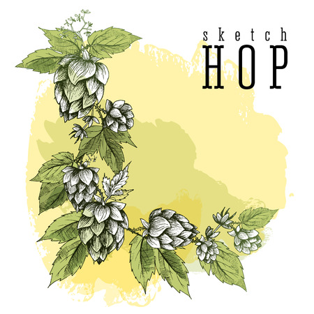 common hop: Common hop or Humulus lupulus branch with leaves and cones. Beer hops element colorful sketch and engraving design hops plants. All element isolated, angular frame. Illustration