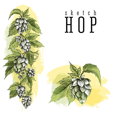 common hop: Common hop or Humulus lupulus branch with leaves and cones. Beer hops element colorful sketch and engraving design hops plants. All element isolated, vertical border.