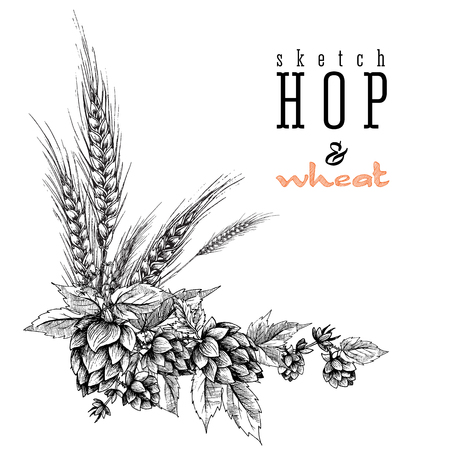 Wheat and beer hops branch with wheat ears, hops leaves and cones. Sketch and engraving design hops plants angular frame. All element isolated.