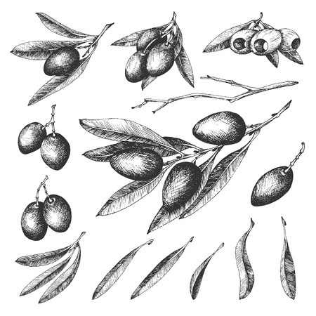 oliva: Olive sketch element collection, olive branches isolated over white background, leaves, olives, vector hand drawn retro illustration. Italian cuisine.