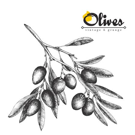Ilustración vectorial boceto rama de oliva grande, aceitunas dibujado a mano aislado olivo, la vendimia con las hojas sobre fondo blanco. Cocina italiana. Foto de archivo - 69053687