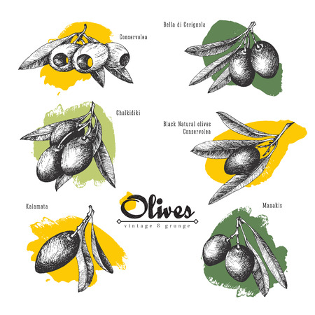 6 named olives sketch branches set isolated illustrations with color spot, Chalkidiki, Kalamata, olives pitted and with leaves, vector hand drawn retro illustration. Traditional Italian and Greece products.