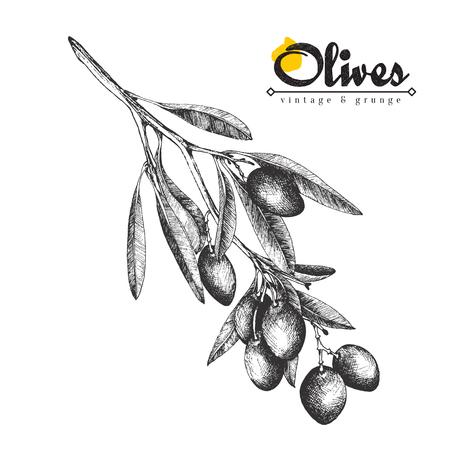 Big olive branch sketch vector illustration, olives hand drawn isolated, vintage olive tree with leaves over white background. Italian cuisine. Ilustração