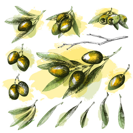 Olive color sketch element collection, branches isolated over white background, leaves, olives, vector hand drawn retro illustration. Italian cuisine.