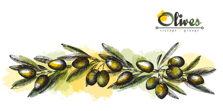 Big long colorful olive branch sketch vector illustration isolated, vintage olives tree with leaves over white background. Italian cuisine.