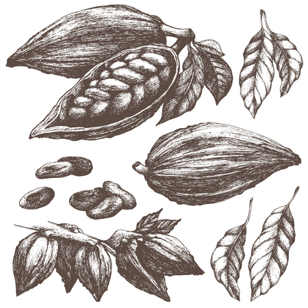 Cocoa sketch collection. Whole and open cocoa pod with seeds, leaves, branches. Chocolate ingredient. Vintage vector illustration isolated.