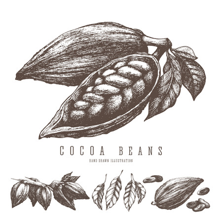 Cocoa beans retro illustration. Vector hand drawn sketch elements for design. Chocolate and sweets ingredient