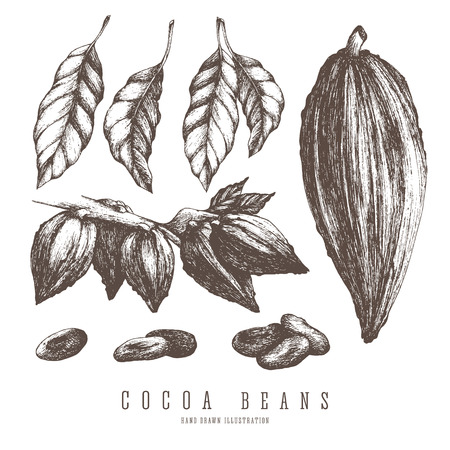 Cocoa pods, collections of whole and branch of cocoa tree, beans, seeds and leaves. Vintage isolated vector elements for design.