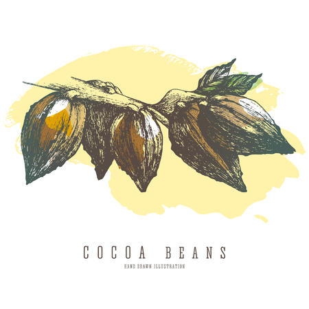 Cocoa branch with whole beans and leaves. Vector colorful sketch isolated illustration.