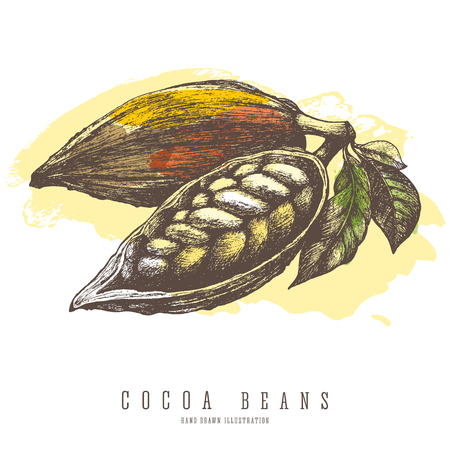 Cocoa beans vintage colorful illustration. Vector hand drawn sketch. Chocolate and sweets ingredient. Ilustração
