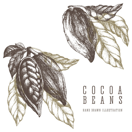 2 Cocoa branches retro illustration. Vector hand drawn sketch elements for design. Chocolate and sweets ingredient. Ilustração