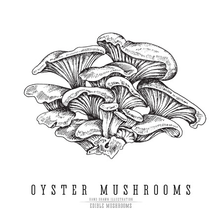 Oyster mushrooms vector sketch collection. Edible mushroom isolated engraving on white background.