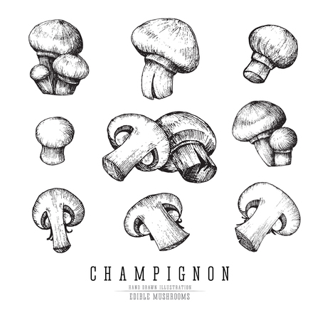 Champignon mushrooms vector sketch collection. Whole and sliced edible mushroom isolated, single and groups, engraving on white background. Ilustração