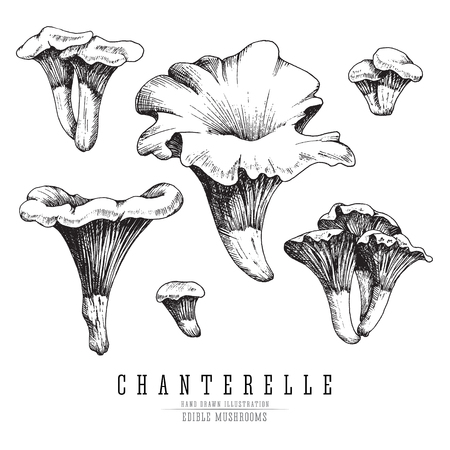Chanterelle mushrooms vector sketch collection. Edible mushroom isolated, single and groups, engraving on white background.