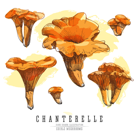 Chanterelle mushrooms colored sketch illustration.