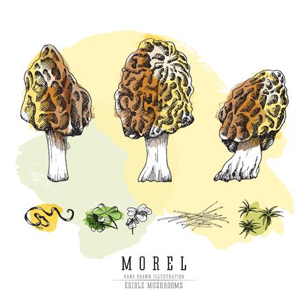 Morel forest mushrooms colored sketch illustration.