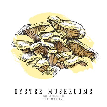 Oyster mushrooms colored sketch illustration. Ilustração