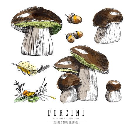 Porcini mushrooms colored sketch illustration. Ilustração