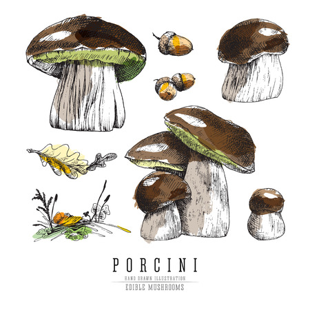 Porcini mushrooms colored sketch illustration. Stock Illustratie