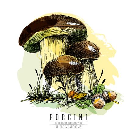 Porcini mushroom colored sketch illustration. Illustration