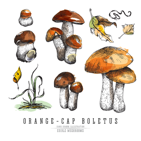 Forest mushrooms orange-cap boletus with leaves and plants.