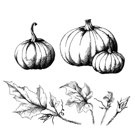 Pumpkin big and small, hand drawn sketch, vector with a set of separate leaves. All objects are isolated.  Harvest festival collection, autumn illustration. Ilustração