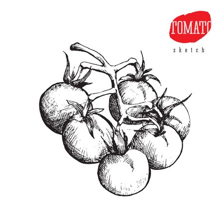 Isolated vector sketch of big tomatoes on a branch