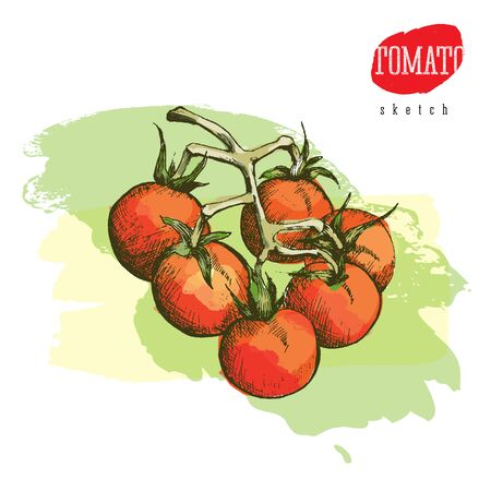 Isolated vector colored sketch of the tomatoes on a branch Illustration