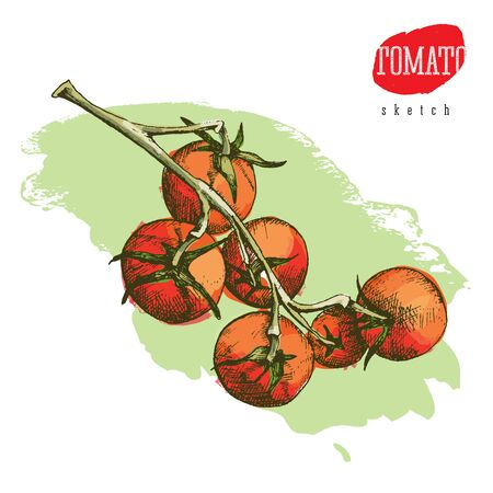 Isolated vector colored sketch of the big and small fresh tomatoes on a green branch Illustration