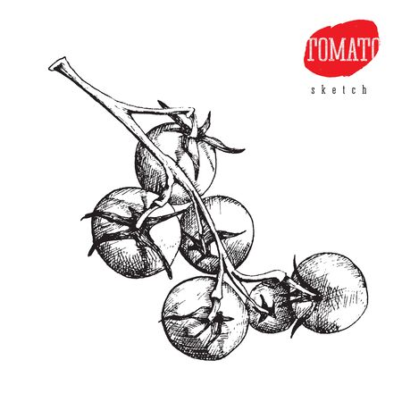 Isolated vector sketch of big and small tomatoes on a branch