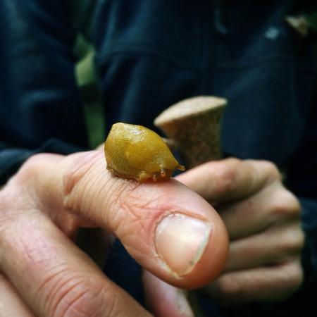 babosa: Plátano Slug