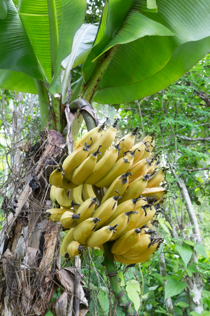 Bananas growing on a plantation in the Philippines Reklamní fotografie