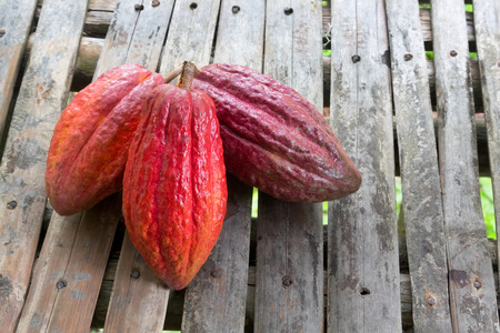 Cacao fruit, which is the main ingredient for chocolate Stok Fotoğraf