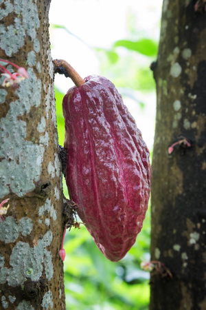 Cacao Fruit hanging from a cacao tree, which is the main ingredient for chocolate