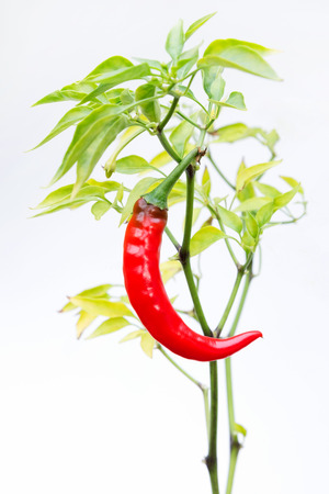 Ripe Hot Thai dragon chili pepper ready to be picked