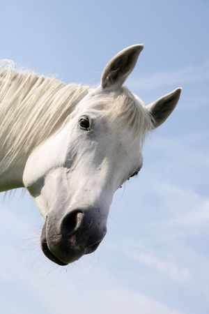 Portrait of a white horse on a blue sky background Stock Photo