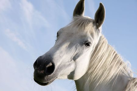 foretop: portrait of a white horse on a blue sky background