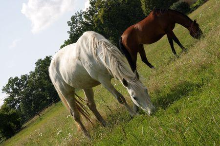 foretop: race horses on the rural farm