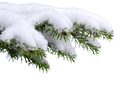 festive pine cones: Christmas evergreen spruce tree with fresh snow on white