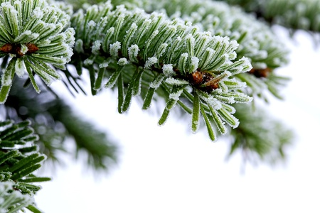 rime frost: Christmas evergreen spruce tree with fresh snow on white