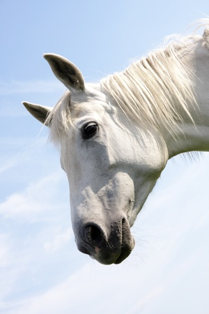 foretop: Portrait of a white horse on a blue sky background Stock Photo