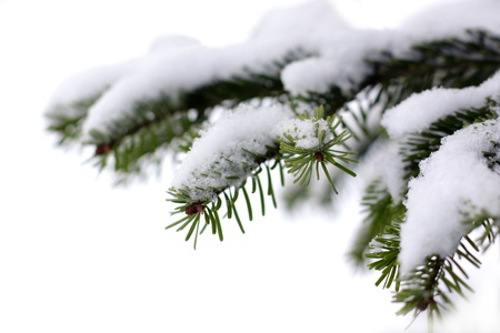 fresh snow: Christmas evergreen spruce tree with fresh snow on white