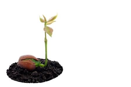 Red eikenbos opgroeide, fris eikel, lente, nieuw leven en kracht van de natuur Stockfoto