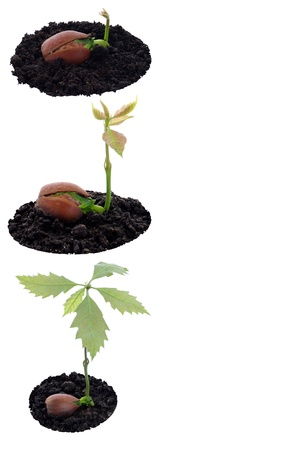 force of nature: Red oak forest growing up, fresh acorn, spring, new life and force of nature