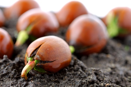 acorn: Red oak forest growing up, fresh acorn, spring, new life and force of nature