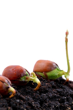ground nuts: Red oak forest growing up, fresh acorn, spring, new life and force of nature