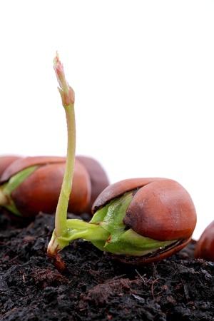 Rode eikenbos opgroeide, fris eikel, lente, nieuw leven en kracht van de natuur