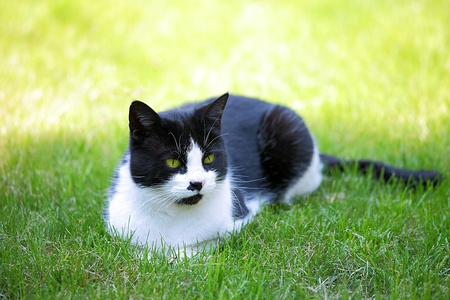 calico whiskers: White and black cat playing on the  spring fresh grass