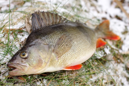 Beautiful colorful perch in the winter scenery